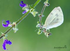 mini_violetta (Boscolo Marco Camiletto) Tags: macro verde green nature wet butterfly insect natura rugiada farfalla insetto