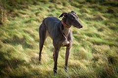 160207 Dog Run-0186 (whitbywoof) Tags: rescue dog pet greyhound pixie pedigree accoladehounds