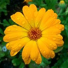Marigold (mcginley2012) Tags: flower raindrops lumia650 nature potmarigold cameraphone orange green rain