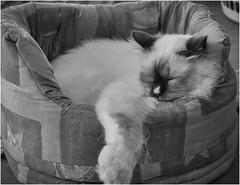 Content (Pwa25) Tags: birman cat comfortable bw kitten fluffy relaxing