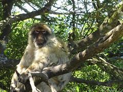 Angry Monkey (Jessica Splain) Tags: monkey gibraltar rockofgibraltar barbaryape barbarymacaque upperrocknaturereserve
