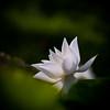 白蓮 (Yi-Liang Lai) Tags: white flowers flower leaves plants lotus pond bokeh canon canon6d 6d kaohsiung kaohsiungcity taiwan 台灣 高雄 胖白 花 蓮花 荷花