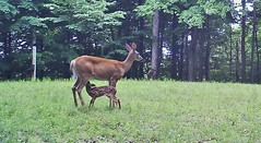 Got Milk? (ThePoppa) Tags: wildlife doe deer wv fawn whitetail moultrie whitetaildeer trailcamera foodplot