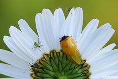Newly Emerged (Vie Lipowski) Tags: flower macro nature bug insect weed wildlife beetle daisy ladybird ladybug wildflower ladybeetle aphid plantlice aphids herbaceousperennialplant