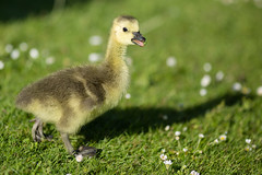 Gosling (jimoftheday) Tags: york bird geese yorkshire universityofyork wildfowl canonef135mmf2lusm