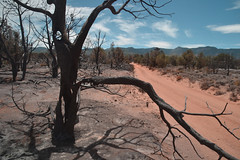 Wildcat Fire 2016 (Kaibab National Forest) Tags: arizona usa forest landscape dirtroad snags wildfire deadtrees 2016 kaibabnationalforest kaibabplateau burnedarea northkaibabrangerdistrict wildcatfire