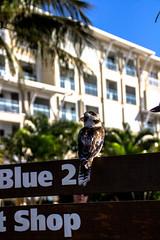 Kookaburra 3 (J.W.F Photography Portfolio) Tags: trees holiday birds animals sign paradise wildlife australian palm cruiseship moretonisland kookaburra