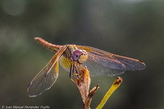 Dragonfly (juanmatruji) Tags: summer macro nature bug insect dragonfly bugs vintagelenses canoneos1200d tamronadaptallsp9025macro