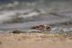 Dunlin (Kamil C.) Tags: dunlin bird shore sea beach k5ii