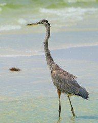 Wading and Watching (5462) (Mike S Perkins) Tags: sea beach gulfofmexico standing mar waves florida watching shore greatblueheron wading siestakey gulfcoast