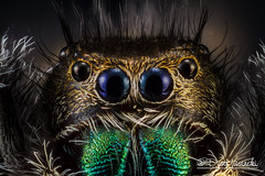 The Daring Jumping Spider - Phidippus audax (Karlgoro1) Tags: black macro eye closeup canon bug insect eos spider photo jumping eyes focus background indoor stack explore 7d f28 audax daring the stacker mpe 65mm phidippus zerene macrolife
