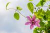 Clematis (Der Gnurz) Tags: flower pflanzen clematis blumen blüten