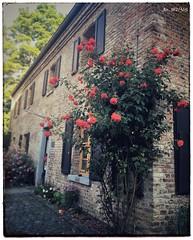 Rose L'amour