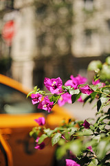 Chasing flowers in New York (ninasclicks) Tags: flowers newyork street bokeh hbw bougainvillea