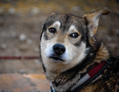 Sled Dog Waiting (valerie.toalson) Tags: yukon sleddog alaska