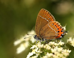 Black Hairstreak (Jillandcamera) Tags: butterfly lincs blackhairstreak chambersfarmwood