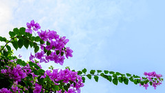 Under the blue sky (lehoang318) Tags: flowers summer sky plants