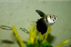 fish tank (4) (krenzphotography) Tags: life pets fish animals mystery aquarium tank goldfish snail molly tetra aquatic dalmatian freshwater longskirt