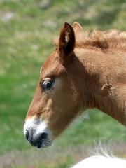 P1000247 (Franois Magne) Tags: cheval libert poulain jument blond blonde bai frange montagne etang lanoux estany de lanos lac pyrnes