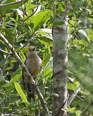 Red-bellied Woodpecker (Melanerpes carolinus) (Mary Keim) Tags: taxonomy:binomial=melanerpescarolinus centralflorida marykeim lowerwekivariverpreservestatepark