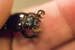 Escarabajo luchando (Gayoausius) Tags: macro mxico escarabajo mexicano insecto macrofotografa beettle 7dwf