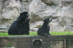 Mother's Day at the Smithsonian's National Zoo (Smithsonian's National Zoo) Tags: bear cub nicole dc washington nationalzoo curt andean billiejean