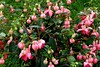 Flowers of Fuschias (Anna * ~) Tags: flowers love colours soe platinumphoto