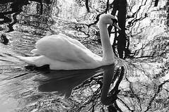DSC_0015 - Swan - Explored (SWJuk) Tags: uk england bw home canal spring swan nikon lancashire lightroom burnley leedsliverpoolcanal d90 2013 nikond90 myfreecopyright swjuk may2013