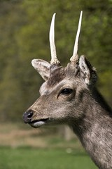 young deer (friendlydrag0n) Tags: park wild portrait brown white game cute male green nature beautiful beauty face field animal fauna forest fur mammal outdoors eyes woods stag natural outdoor head wildlife hunting young handsome horns ears deer antlers fawn environment trophy horn immature buck roe