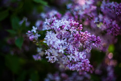 Lilacs (sarahcampbell42) Tags: flowers shadow beautiful spring pretty purple blossom may shade lilacs budding