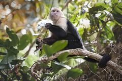 Capuchino comindose una iguana baby / Cappuccino eating an iguana baby (Ral Barrero fotografa) Tags: wild costa naturaleza nature monkey mono selva rica iguana manuel antonio capucino cappucino quepos salvaje