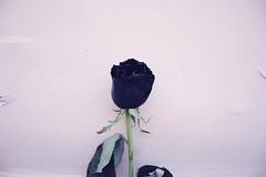 401 (AYUMI-TURQUOISE) Tags: life black rose pain still xx turquoise rosa together federica ayumi nera pagano
