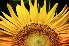 like the sun (mapleda) Tags: summer flower yellow landscape daylight flora close bright sunflower bloom cropped tall flowerbeds