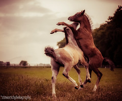 Boys will be boys. (Simon Rich Photography) Tags: horses canon play fighting equestrian equine foals eos5d simonrich mrmonts simonrichphotography