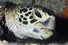 Turtle Eating (PacificKlaus) Tags: underwater oahu turtle scuba diving cheloniamydas marinelife marineturtle