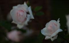 12/365 Rainy Roses (Ennae) Tags: 2 roses water rain rose zeiss canon drops mark jena ii carl 5d 365 waterdrops f28 mk sonnar 180mm czj