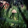 Mushroom (chappo2611) Tags: cameraphone nottingham brown green home mushroom grass garden miniature focus little small mini fungi fungus tiny toadstool pixies fairys blades nottinghamshire elves iphone notts gedling iphone5