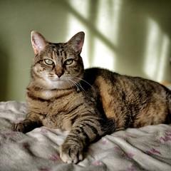 _cat portrait _ (BelAmi**) Tags: light cats france color nature animal cat square lumix feline tabby tabbycat catportrait gf1 2013 catonabed