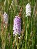 Orchid (Nigel_Brown) Tags: uk greatbritain lumix scotland unitedkingdom panasonic islay gb stockphoto 2013 nigelbrown dmctz8 tz8