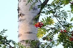 Fall is coming (DominoDude) Tags: autumn orange green fall canon skne berries sweden 7d birch sverige rowan leafs scania rowanberry canoneos7d vasasjn canon7d