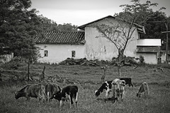 Another Day (Ivn Adrin) Tags: ranch mexico cow estate pasture puebla grazing rancho vacas