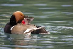 Fistione turco (Viviana Marri) Tags: birds uccelli redcrestedpochard nettarufina fistioneturco