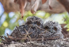 Two Tawnies (rQQzy) Tags: tree nature birds branch nest chicks tawnyfrogmouth