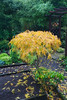 Autumn golden yellow  leaves of  Acer palmatum dissectum viridans (Four Seasons Garden) Tags: uk autumn england leaves yellow garden four gold seasons foliage acer lacy walsall palmatum dissectum viridans fourseasonsgarden