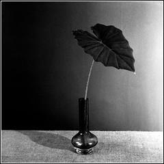 Leaf. Yashica-B, ORWO NP22, exp:1992. (Andrey Maltsev) Tags: old bw plant flower 120 6x6 film canon scan 120film scanned dryflower expiredfilm dryflowers orwo bwfilm middleformat 8800 blackandwhitefilm iso125 orwonp22 yashicab np22 blackandwhiteflower canon8800f