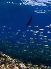 slwschool3775 (gerb) Tags: ocean blue school fish topv111 mexico topv555 topv333 underwater scuba fisheye wildanimal sealion cortez fins seaofcortez tvp aquatica d7000 sigma1017fe