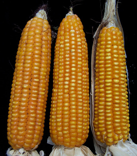 Healthy maize cobs