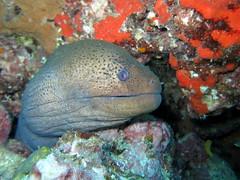 IMG_9170 (milewski) Tags: ocean water underwater salt scuba diving scubadiving eel moray morayeel saltwater underwaterphotography oceanphotography