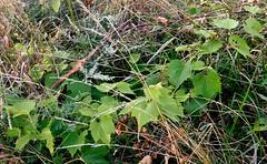 Summer Weeds (mahler9) Tags: cambridge wild plants leaves vines weeds massachusetts grape jaym mahler9 andantecomodofotos