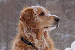 Boone (Diane Marshman) Tags: winter dog brown snow black male nature season fur nose golden eyes superb pennsylvania tan large pa retreiver simply northeast boone northeastern coth flickrdiamond photosandcalendar coth5 mygearandme mygearandmepremium mygearandmebronze mygearandmesilver ringexcellence dblringexcellence tplringexcellence beautiesbeasts